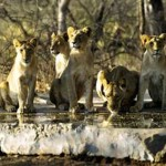 Gir Forest: Among the lions
